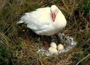 Умілі руки - вчимося робити затишне гніздо для гуски