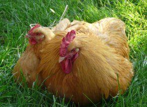 Універсальні кури для яєць і м`яса - опис породи редбро