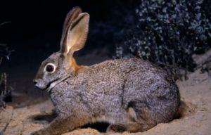 Вухата братія в природі, або просто дикі кролики