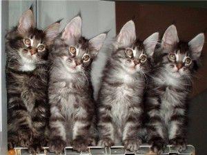 Вуха кішки