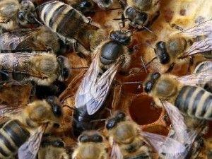 Пристрій бджолиної сім`ї