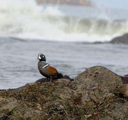Самець качки каменушка на форі водоспаду
