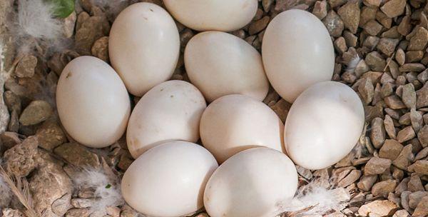 Качині яйця