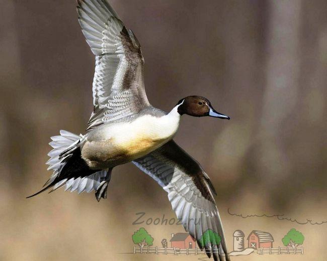 Фото летить самця шилохвость