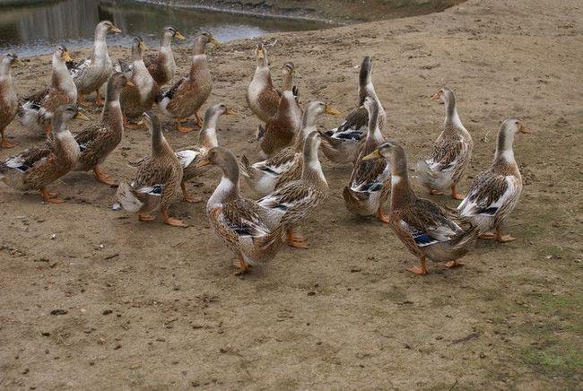 Башкирські качечки вийшли гуляти до ставка