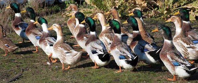 Башкирські качки і селезні йдуть на прогулянку