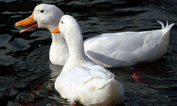 Пара Білих Пекінських качок