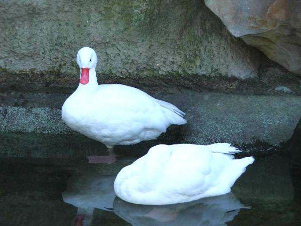 Пара Білих Московських качок у водоймі