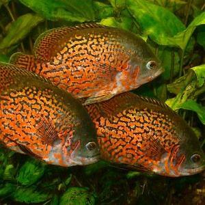 рибки астронотуси