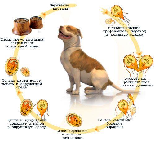 У чому небезпека і як позбутися від лямблій у собаки?