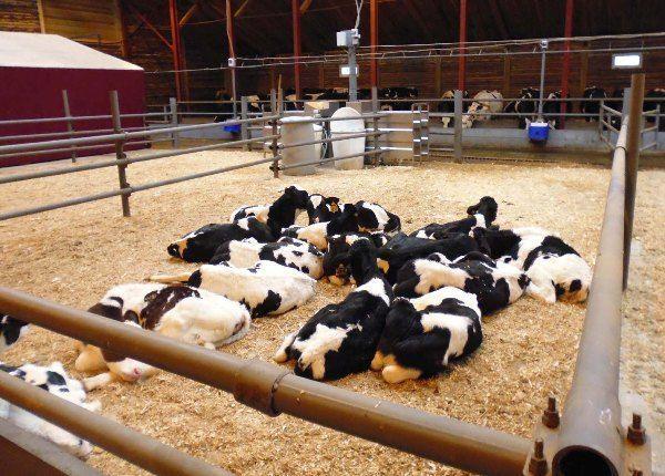 У чому особливість безприв`язного утримання корів?