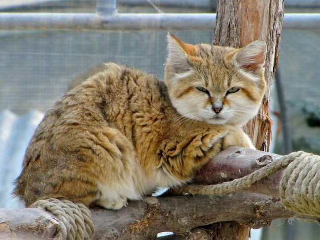 У день кота араби знову побачили бархани кота