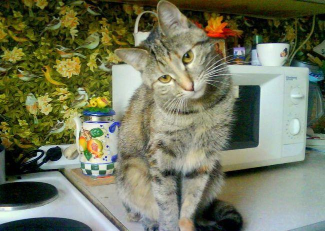 У Кемерово живе кішка-кухар.
