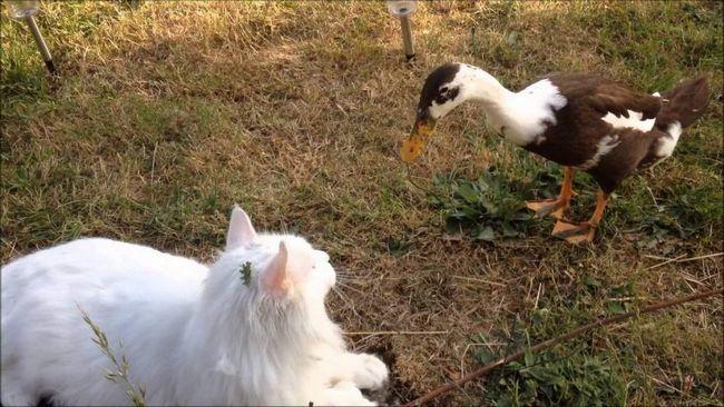 В одному і українських сіл кіт став пастухом домашньої птиці