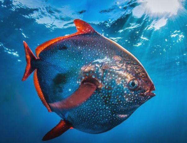 В океані виявлено теплокровних риба