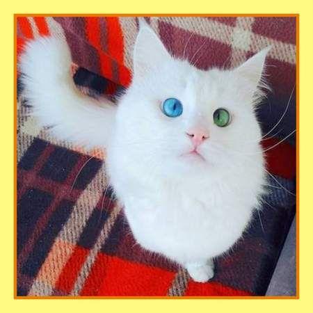 Турецький ван по кличці Алош - найкрасивіший кіт у світі.