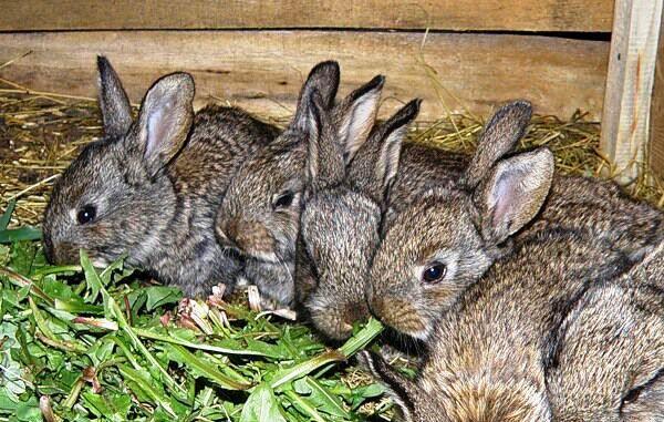 Важливий етап вирощування кроликів - відсадження кроленят