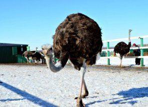 Чудовий страус - ферма в башкирії