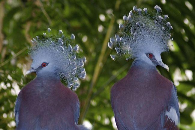 Вінценосний голуб - неперевершений красень