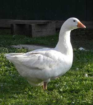Угорські білі гуси