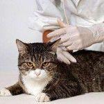 Веракол для кішок