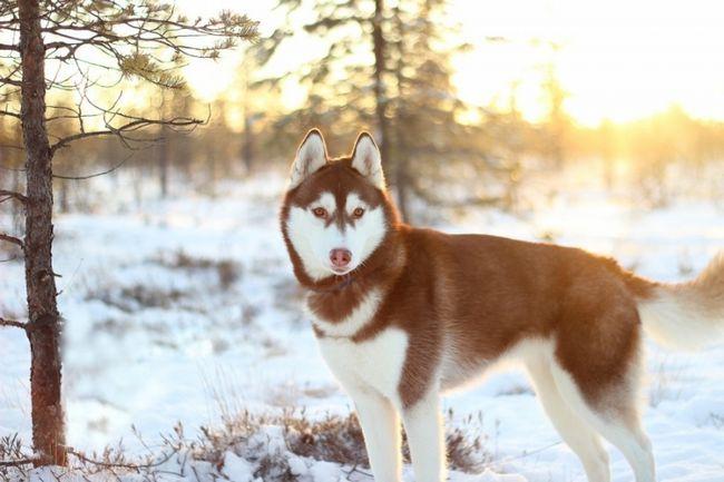 Вірний друг сибірський хаскі - характеристика породи