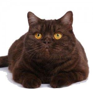 Вага британської кішки