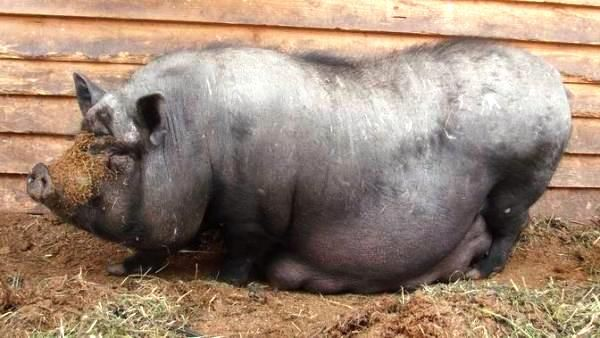 В`єтнамські свині - особливості утримання та розведення