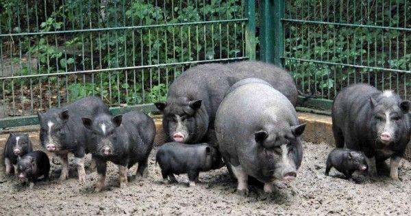 В`єтнамські вислобрюхие свині утримання та догляд