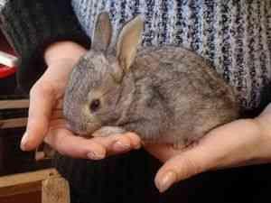 Дозування і спосіб застосування Байкоксу для кроликів (інструкція)