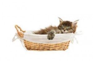 Чи бачать кішки сни