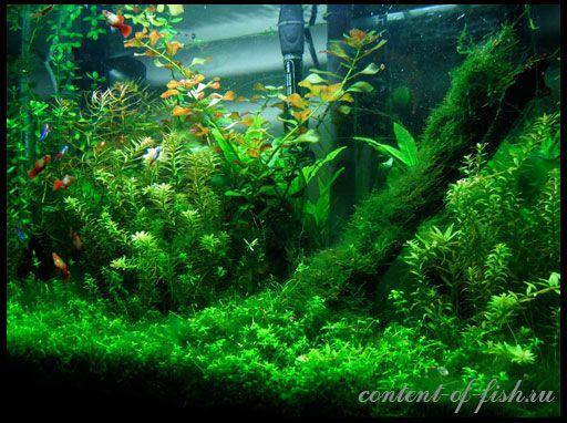 зарості акваріумні