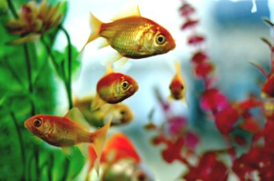 акваріумні водорості