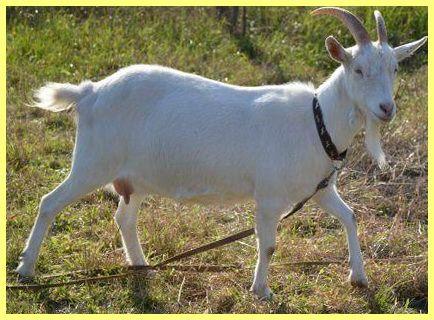 Види домашніх кіз: опис і фото