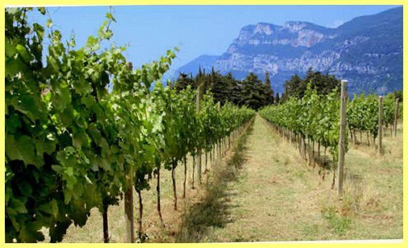 Виноград вирощування з живців в домашніх умовах