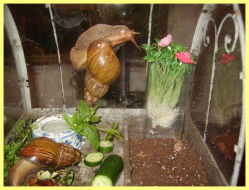 Виноградний слимак в домашніх умовах