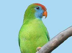 Символ папужка острова камігін (loriculus camiguinensis)