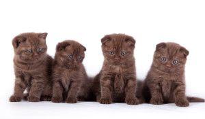 Шотландська висловуха шоколадна кішка