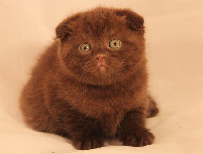 Висловуха кішка шоколадного окраса