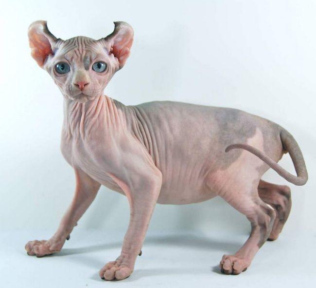 Двельфи - кішки без шерсті.