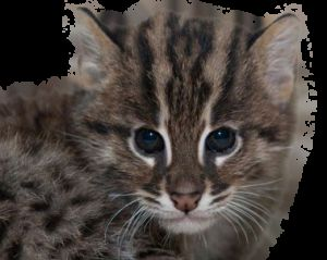 Віверрових кіт-риболов