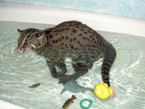 Віверрових кіт рибалка