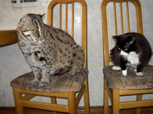віверрових кіт