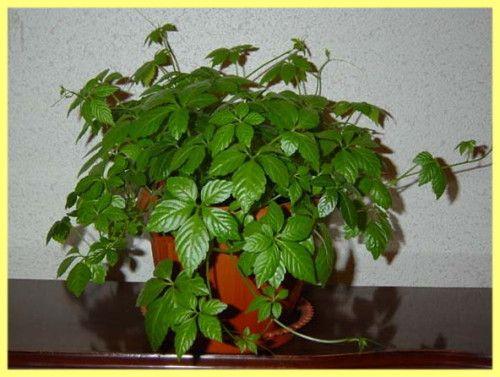 Кучеряві рослини для дому назви і фото