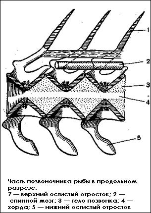 Внутрішні органи риби