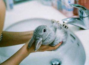 Водні процедури домашніх кроликів