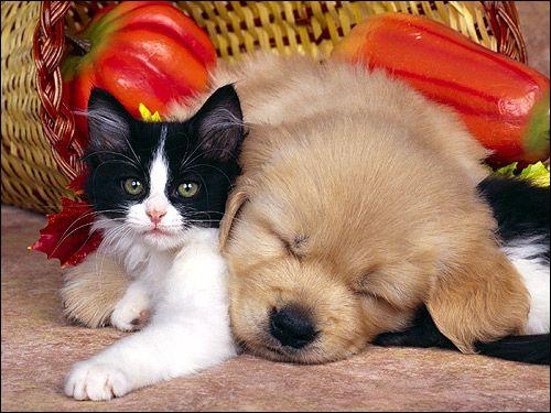 Чорно-біле кошеня і сплячий щеня. Фото, фотографія картинка тварини