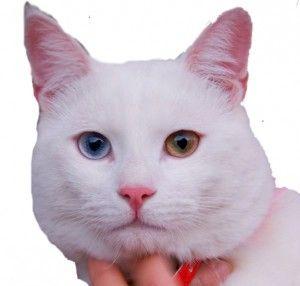 Водоплавні кішки