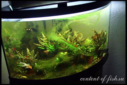 Водорості в акваріумі