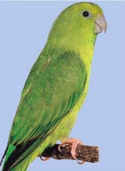 Горобиний папужка зеленийforpus passerinus